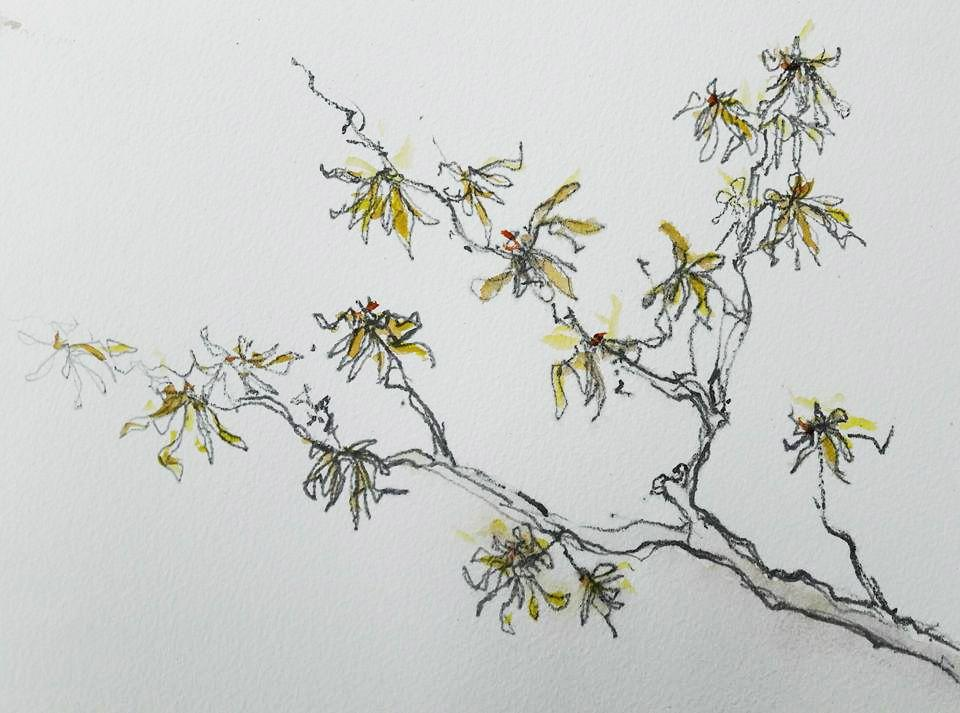 Witch Hazel at Stillingfleet Lodge Gardens