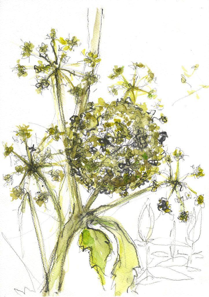 Ornamental hogweed